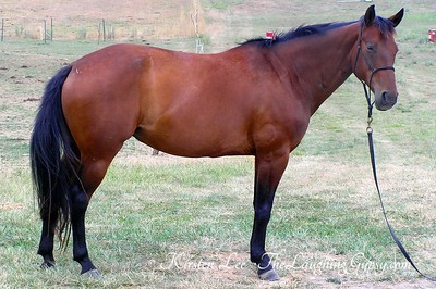 Warmblood Sport Horse for sale